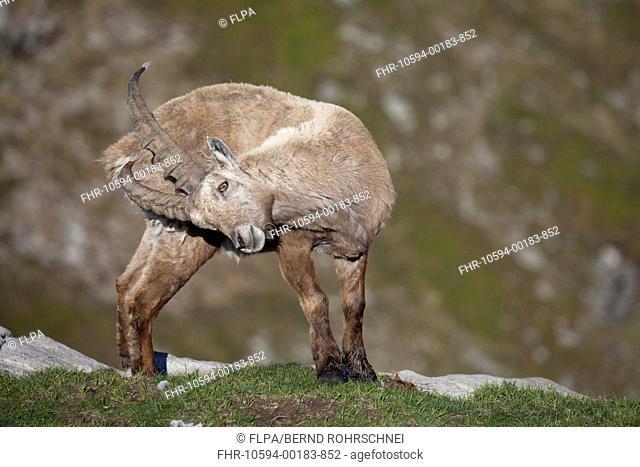 Alpine Ibex Capra ibex adult male, scratching rump with horns, Niederhorn, Swiss Alps, Bernese Oberland, Switzerland, june