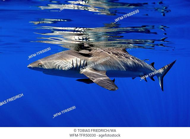 Grey Reef Shark, Carcharhinus amblyrhynchos, Kimbe Bay, New Britain, Papua New Guinea
