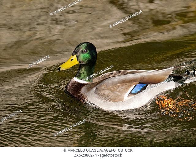 Male Mallard duck (Anas platyrhynchos). Torreblanca Urban Park. Sant Joan Despí city. Barcelona Metropolitan Area, Catalonia, Spain