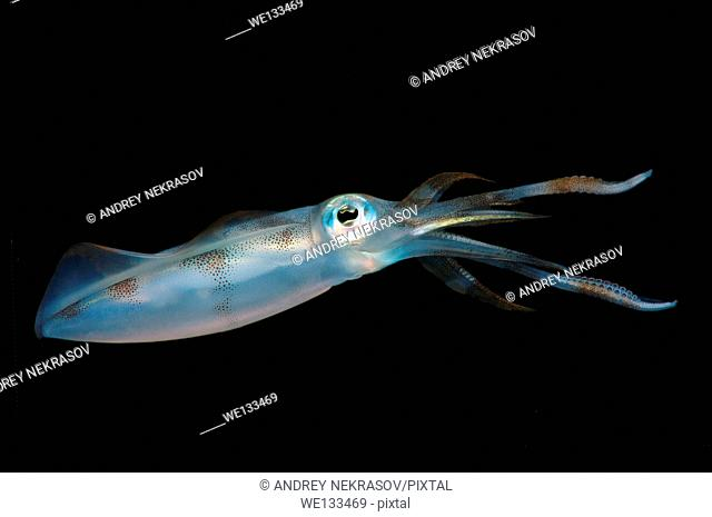 Bigfin reef squid (Sepioteuthis lessoniana), Bohol Sea, Philippines, Southeast Asia