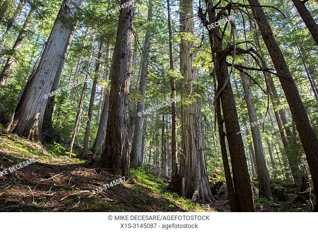 A mix of new and Old Growth in an Old Growth forest in British Columbia, Canada