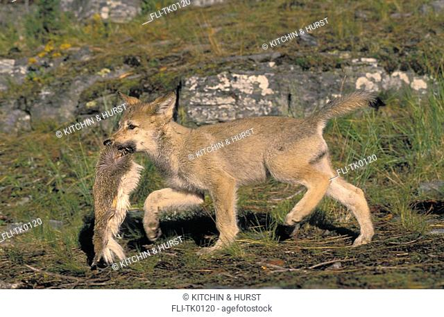 Gray Wolf,Timber Wolf, 9-week old pup plays with white-tailed deer fur  Summer  Rocky Mountains  North America  Canis lupus