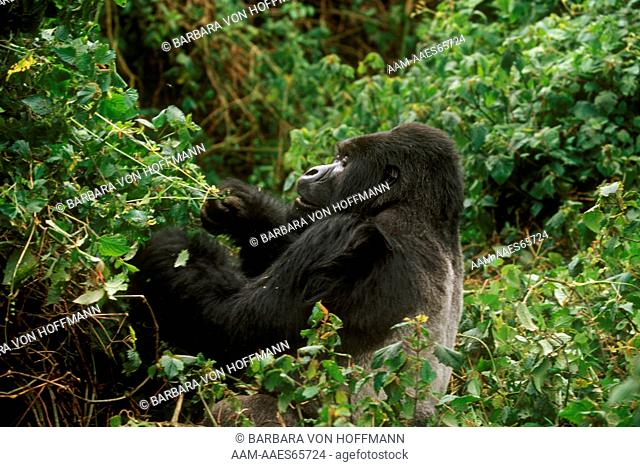 Mountain Gorilla Silverback browsing in Forest, Parc de Volcans, Rwanda (G. g. beringei)