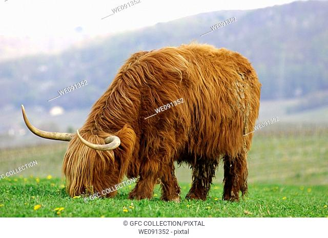 Cow with gender-specific shaping of the horns, Highland Cattle, Kyloe
