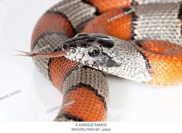 Portrait of Gray-banded kingsnake sticking out tongue