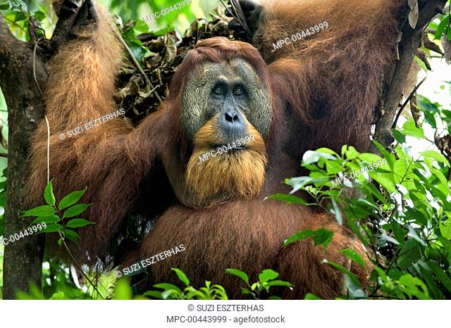Sumatran Orangutan (Pongo abelii) dominant male in tree, Gunung Leuser National Park, north Sumatra, Indonesia