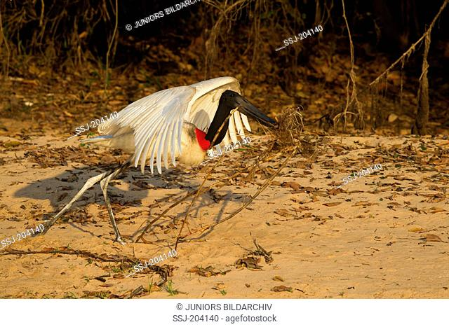 Jabiru Stork (Jabiru mycteria). Adult taking-off while carrying a stick in its beak. Pantanal, Brazil