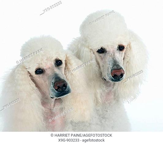 Two White Standard Poodles