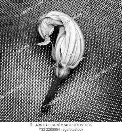 Flower of Zucchini (Cucurbita pepo) in strainer