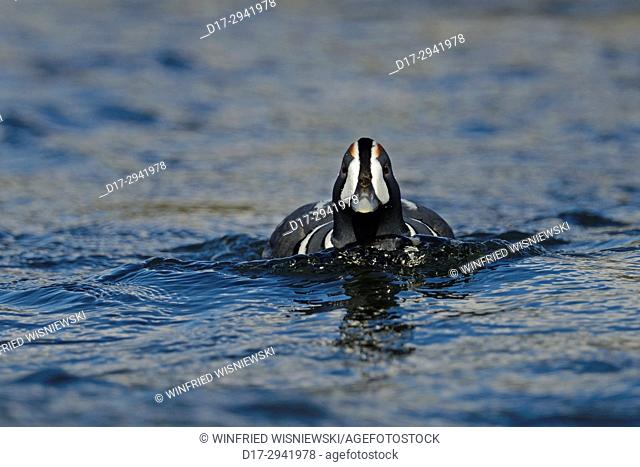 Male Harlequin Duck (Histrionicus histrionicus) swimming on River Laxá. Iceland