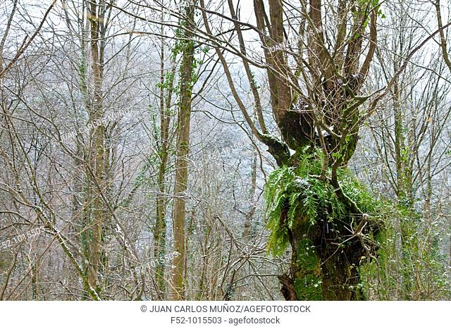 Atlantic Forest in winter. Ason Valley. Cantabria. Spain