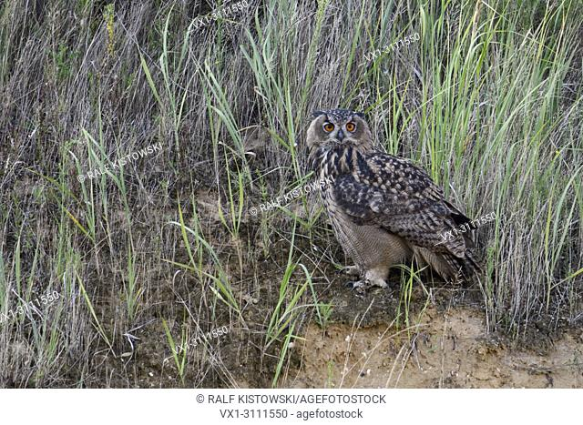 Eurasian Eagle Owl / Europaeischer Uhu ( Bubo bubo ), young bird, perched between grass in the slope of a gravel pit, watchinf directly, nice side view
