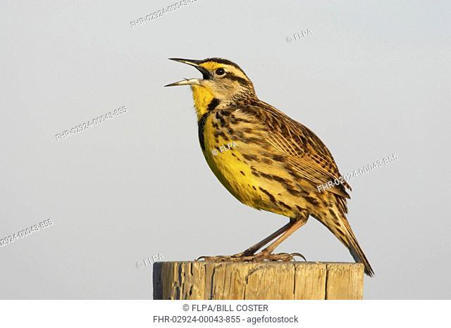 Eastern Meadowlark Sturnella magna adult, singing, standing on post, Lake Kissimmee, Florida, U S A