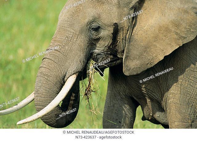 Elephant. African fauna