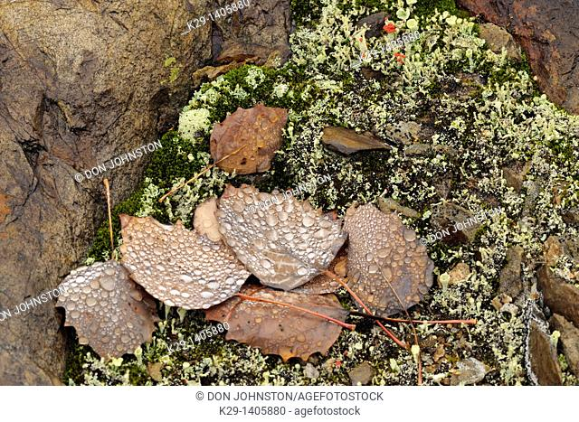 Fallen autumn poplar leaves with raindrops and lichens