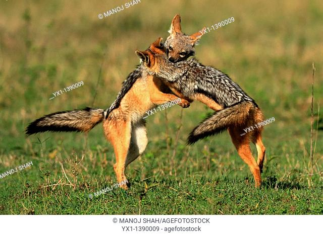 The adult Black Backed jackals have gone to look for food leaving behind 4 pups  The pups start playing simple but energetic games mainly involving biting and...