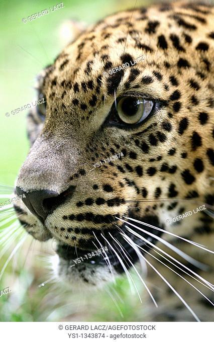 SRI LANKAN LEOPARD panthera pardus kotiya, PORTRAIT OF ADULT