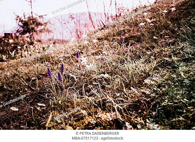 Grape hyacinth and anemone on a spring meadow, flowers and grasses in a special light