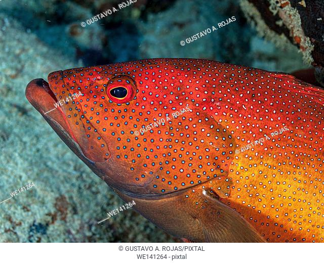 Coney Grouper, Cephalopholis fulva., EPINEPHELUS FULVUS, Los Roques, Venezuela phase coloration bright red
