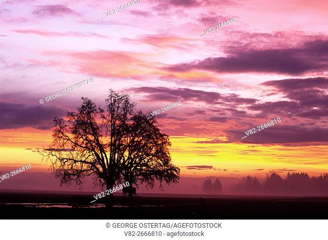 Willamette Valley oak sunrise, Marion County, Oregon