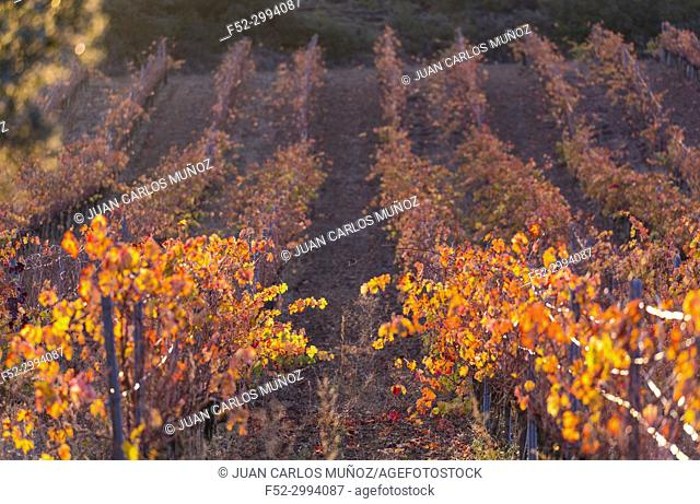 Vineyard in autumn, La Rioja, Alava, Basque Country, Spain, Europe