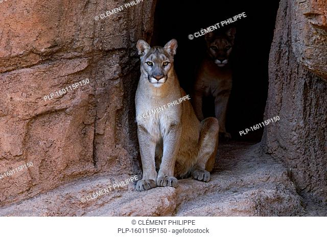Two pumas / mountain lions / cougars (Felis concolor) at entrance of cave, native to the Americas