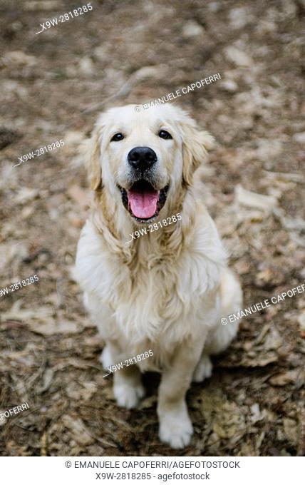 portrait of dog golden retriever in the woods