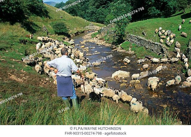 Sheep farming, shepherd with Border Collies, bringing ewes off fells, Cumbria, England, august