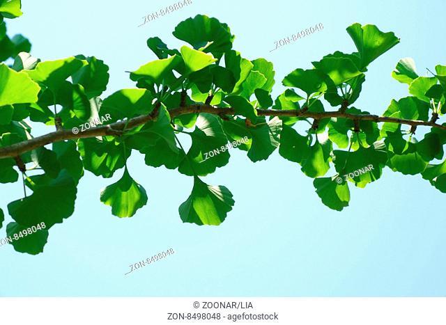 Ginkgo biloba fresch green leaves of a tree branch