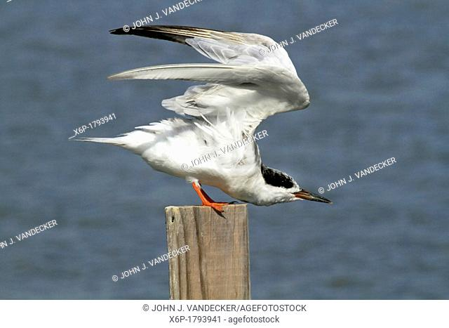 A Forster's Tern, Sterna fosteri, stretching its wings  Richard DeKorte Park, Lyndhurst, New Jersey, USA