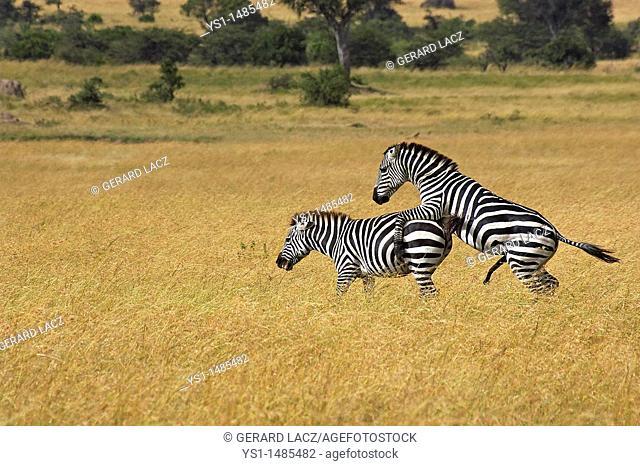 Burchell's Zebra, equus burchelli, Pair Mating, Masai Mara Park in Kenya