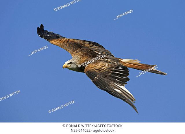 Milvus milvus, Red Kite, Germany, captive