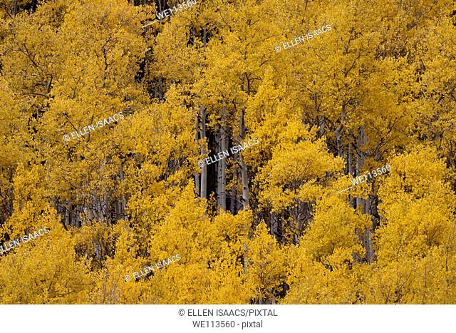 Fluttering yellow leaves of grove of aspen trees in autumn