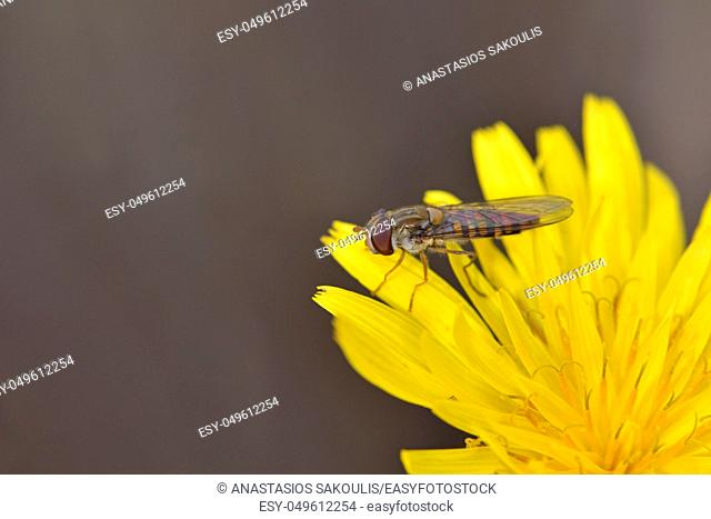 Episyrphus balteatus, sometimes called the marmalade hoverfly, Crete