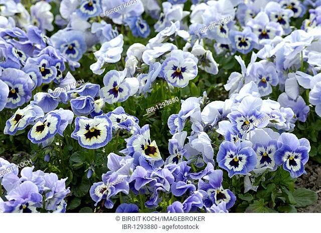 Blue Pansies (Viola)