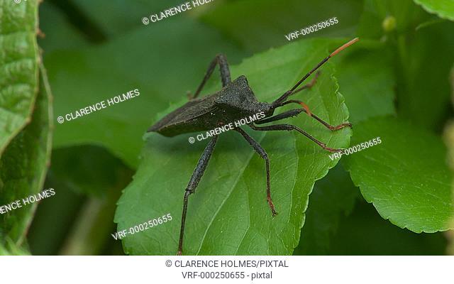 A Leaf-footed Bug (Acanthocephala terminalis) waits for prey on a leaf