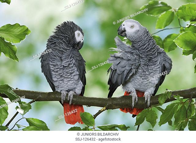two Congo African Grey parrots on branch - Psittacus erithacus