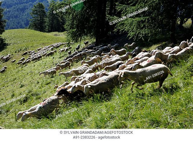 France, Provence, Hautes Alpes (05), Risoul, Shepherd Olivier Jego and his ewe sheeps herd