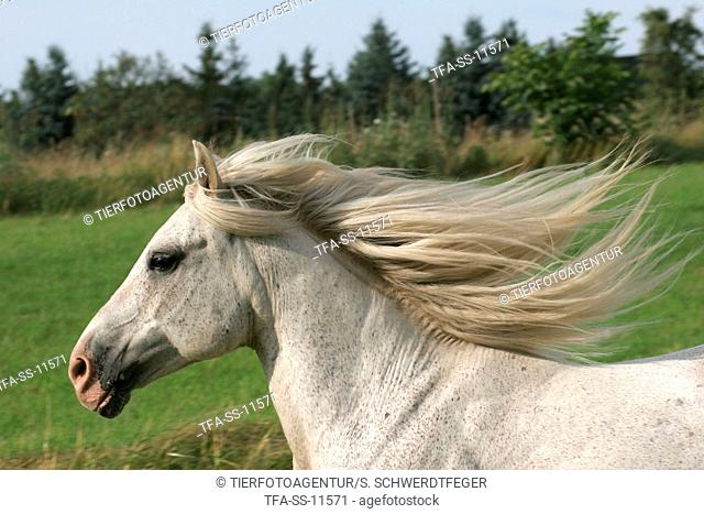 white horse with flying mane in portrait