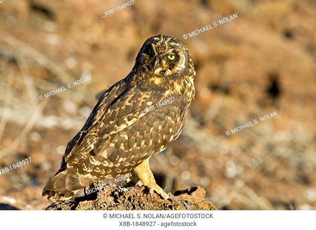 Galapagos short-eared owl Asio flammeus galapagoensis, on Genovesa Island, Galapagos Islands, Ecuador