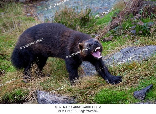 Wolverine - adult animal - Haerjedalen, Sweden