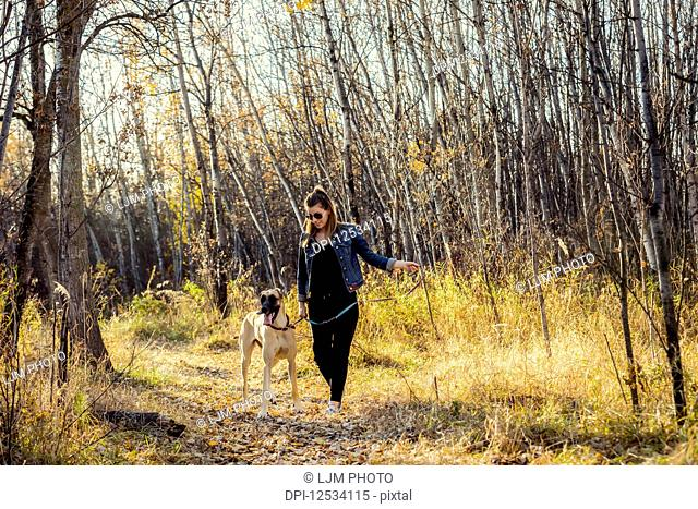 A beautiful woman stopping while walking her Great Dane through the woods in a city park on a warm fall evening; Edmonton, Alberta, Canada