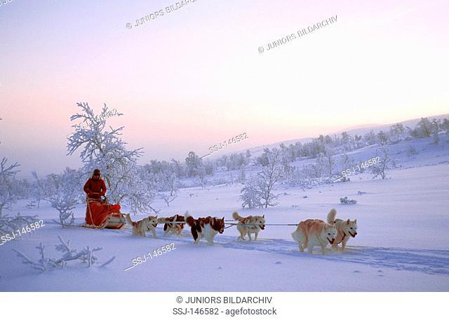 huskies - pulling sledge
