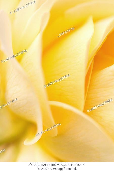 Macro shot of yellow rose petals