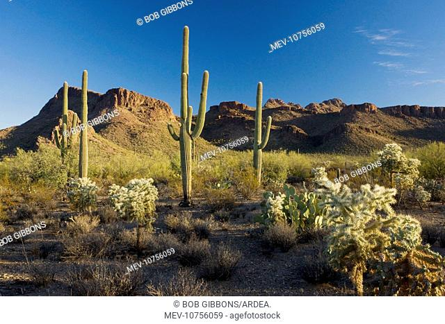 Giant Cactus or Saguaro with chollas (Carnegiea gigantea)