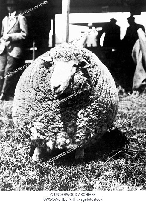 Ashford, England: July 29, 1924.This Kent ram, bearing its third fleece, won first prize at the Kent County Agricultural Show