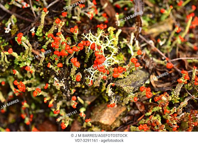 Cladonia macilenta is a squamulose lichen with red apothecia. This photo was taken in Muniellos Biosphere Reserve, Asturias, Spain