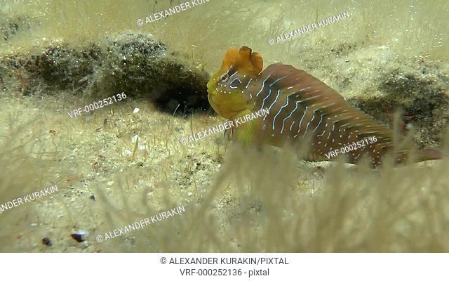 Peacock blenny (Salaria pavo): The male climbs into the hole, medium shot. Black Sea. Ukraine