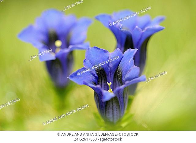 Stemless Gentian (Gentiana acaulis ) close-up, Haute Savoie, France