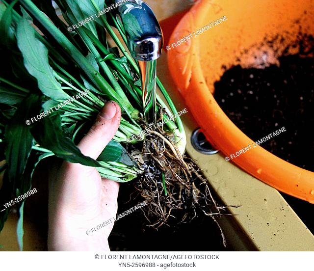 Step by step: how to create a water filter for an aquarium with a plant, a spathiphyllum